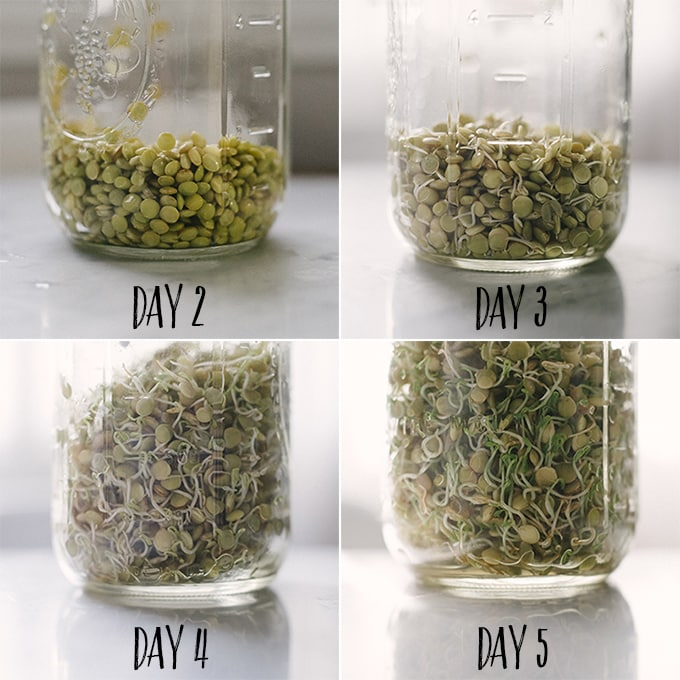 Get your sprout on and learn how to sprout lentils. Sprouted lentils are crunchy and delicate, delicious in raw salads and sandwiches.