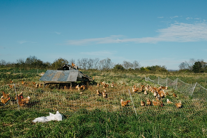 Pastured chickens pecking for bugs and grass in a mobile coop. Where to buy pastured chickens with Open Book Farm in Frederick, MD.