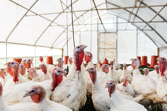 A flock of happy turkeys in a mobile coop. Where to buy locally sourced pastured turkeys with Open Book Farm in Frederick, MD.
